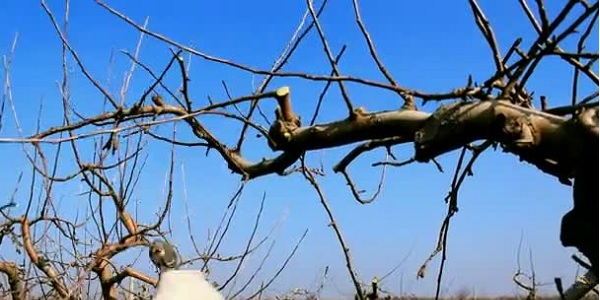 Photo of Budama sonrası meyve ağaçlarında yapılacak işlemler