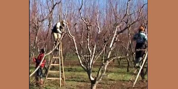 Photo of Meyve ağaçlarında nedenleriyle yaz ve kış budaması
